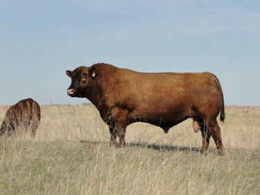 Gill Red Angus Ranch